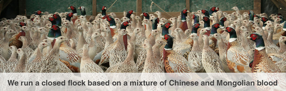 Holme Park Game Hatcheries Supplying Pheasant Eggs Chicks And Poults In The UK For Over 50 Years