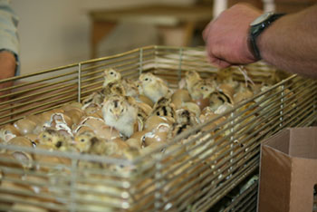 To Find Out More About Our Rearing Process Please See Hatching Call Us Let Know Your Requirement On 01189 782911 Or Email